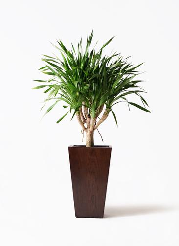 観葉植物 ドラセナ パラオ 8号 MOKU スクエア 付き