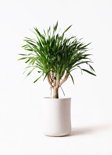 観葉植物 ドラセナ パラオ 8号 バスク ミドル ホワイト 付き