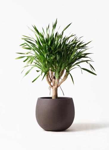観葉植物 ドラセナ パラオ 8号 テラニアス ローバルーン アンティークブラウン 付き