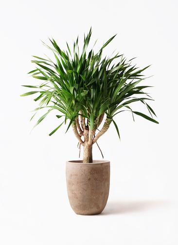 観葉植物 ドラセナ パラオ 8号 ルーガ アンティコ アルトエッグ 付き