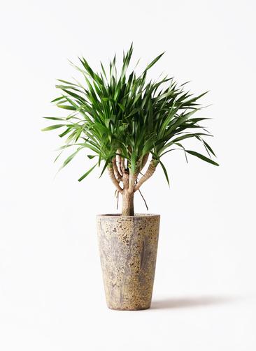 観葉植物 ドラセナ パラオ 8号 アトランティス クルーシブル 付き