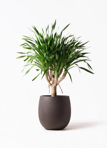 観葉植物 ドラセナ パラオ 8号 テラニアス バルーン アンティークブラウン 付き