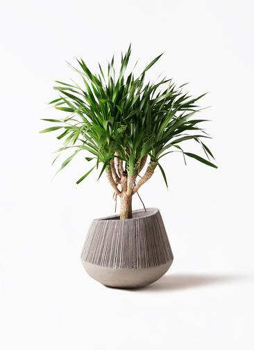 観葉植物 ドラセナ パラオ 8号 エディラウンド グレイ 付き