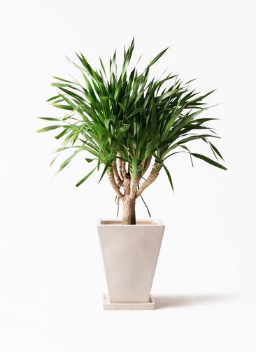 観葉植物 ドラセナ パラオ 8号 スクエアハット 白 付き