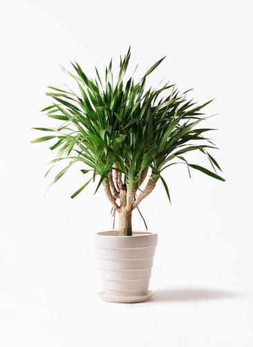 観葉植物 ドラセナ パラオ 8号 サバトリア 白 付き