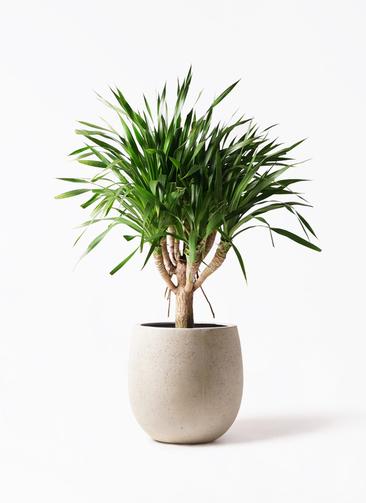 観葉植物 ドラセナ パラオ 8号 テラニアス バルーン アンティークホワイト 付き
