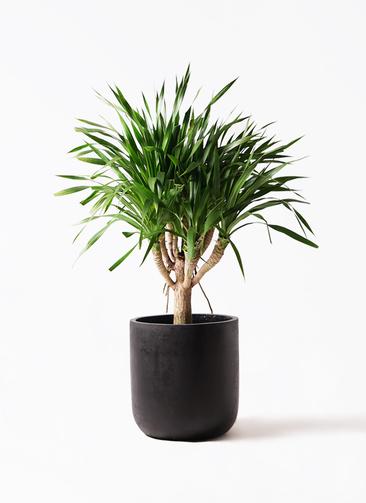 観葉植物 ドラセナ パラオ 8号 エルバ 黒 付き