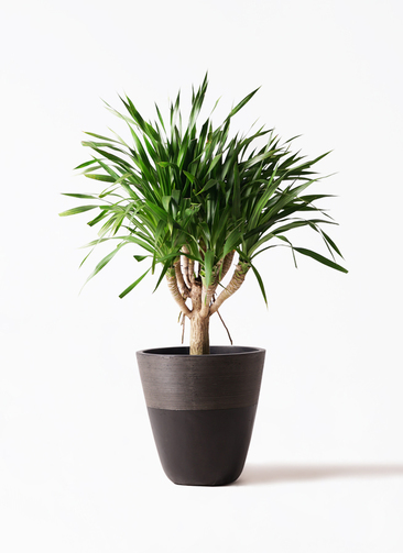 観葉植物 ドラセナ パラオ 8号 ジュピター 黒 付き