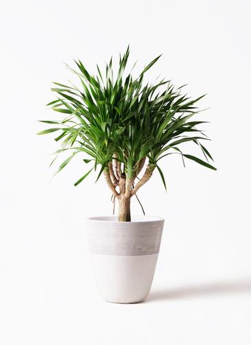 観葉植物 ドラセナ パラオ 8号 ジュピター 白 付き