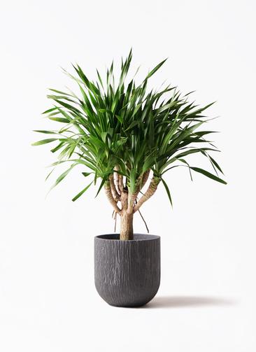 観葉植物 ドラセナ パラオ 8号 カルディナダークグレイ 付き