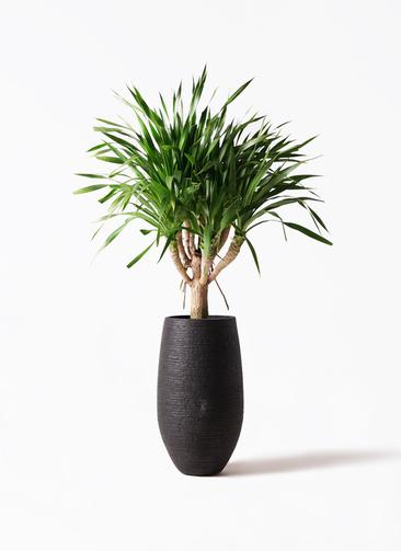 観葉植物 ドラセナ パラオ 8号 フォンティーヌトール 黒 付き