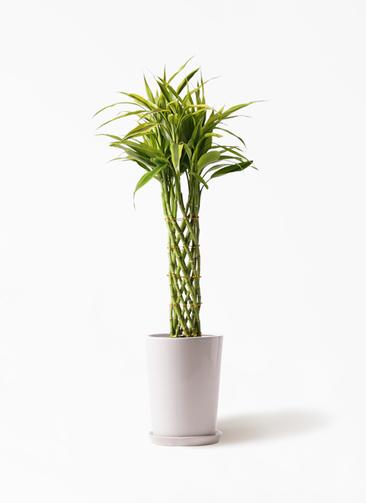 観葉植物 ドラセナ ミリオンバンブー(幸運の竹) 8号 LO ラウンド 付き