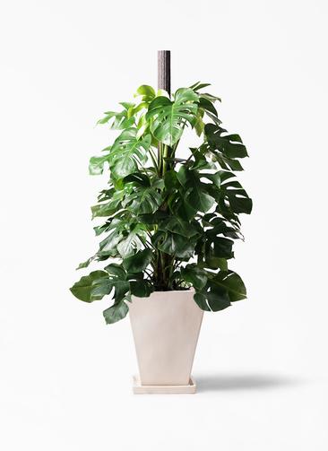 観葉植物 モンステラ 10号 ヘゴ柱 スクエアハット 白 付き