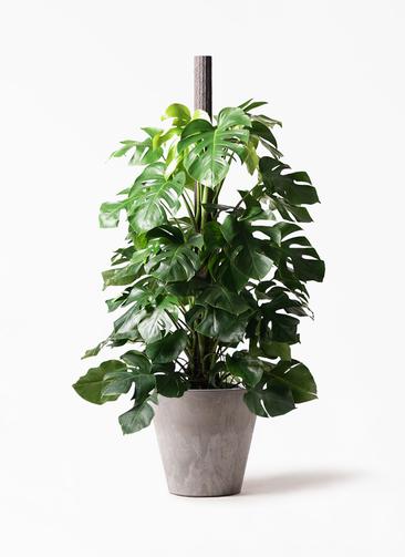 観葉植物 モンステラ 10号 ヘゴ柱 アートストーン ラウンド グレー 付き