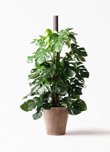 観葉植物 モンステラ 10号 ヘゴ柱 ルーガ アンティコ ソリッド 付き