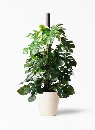観葉植物 モンステラ 10号 ヘゴ柱 フォリオソリッド クリーム 付き