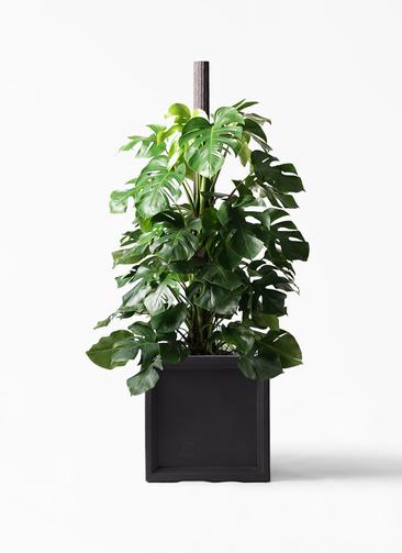 観葉植物 モンステラ 10号 ヘゴ柱 ブリティッシュキューブ 付き