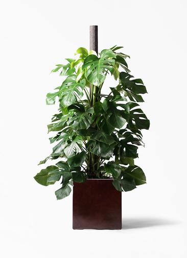 観葉植物 モンステラ 10号 ヘゴ柱 MOKU キューブ 付き