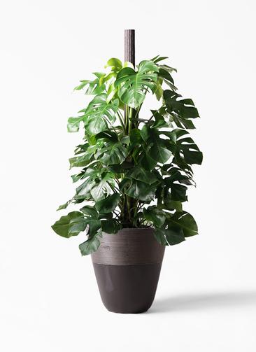 観葉植物 モンステラ 10号 ヘゴ柱 ジュピター 黒 付き