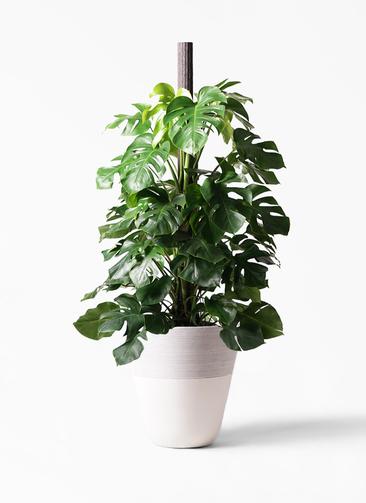 観葉植物 モンステラ 10号 ヘゴ柱 ジュピター 白 付き