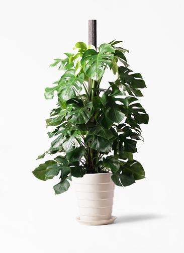 観葉植物 モンステラ 10号 ヘゴ柱 サバトリア 白 付き