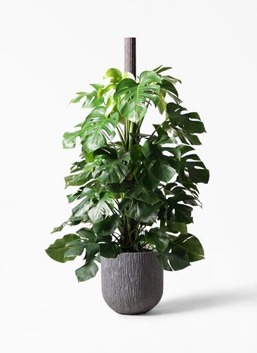 観葉植物 モンステラ 10号 ヘゴ柱 カルディナダークグレイ 付き