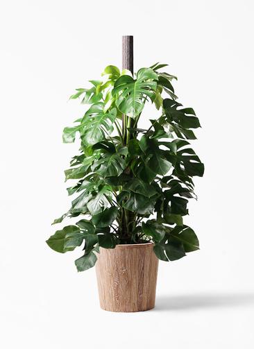 観葉植物 モンステラ 10号 ヘゴ柱 ウッドプランター 付き