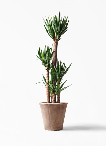 観葉植物 ユッカ 10号 ノーマル ルーガ アンティコ ソリッド 付き
