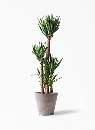 観葉植物 ユッカ 10号 ノーマル アートストーン ラウンド グレー 付き