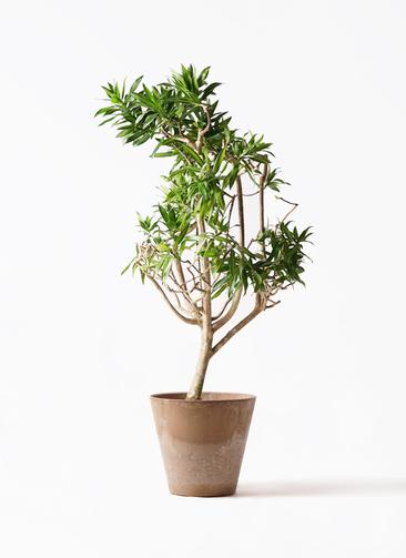 観葉植物 ドラセナ ソング オブ ジャマイカ 8号 アートストーン ラウンド ベージュ 付き