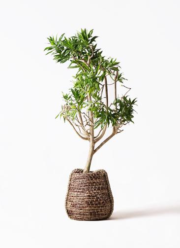 観葉植物 ドラセナ ソング オブ ジャマイカ 8号 リゲル 茶 付き