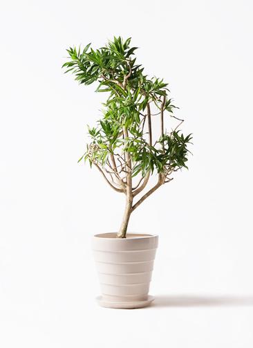 観葉植物 ドラセナ ソング オブ ジャマイカ 8号 サバトリア 白 付き