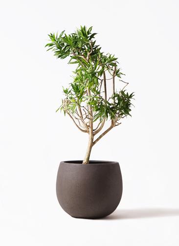 観葉植物 ドラセナ ソング オブ ジャマイカ 8号 テラニアス ローバルーン アンティークブラウン 付き