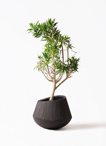 観葉植物 ドラセナ ソング オブ ジャマイカ 8号 エディラウンド 黒 付き