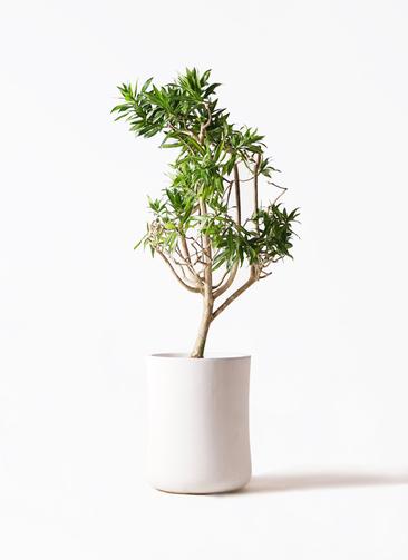 観葉植物 ドラセナ ソング オブ ジャマイカ 8号 バスク ミドル ホワイト 付き