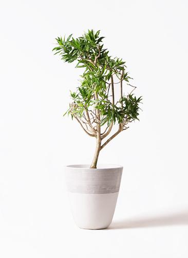 観葉植物 ドラセナ ソング オブ ジャマイカ 8号 ジュピター 白 付き