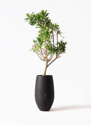 観葉植物 ドラセナ ソング オブ ジャマイカ 8号 フォンティーヌトール 黒 付き