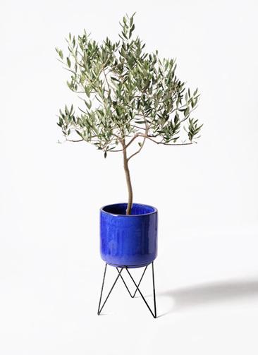 観葉植物 オリーブの木 8号 ハーディーズマンモス ビトロ エンデカ 鉢カバースタンド付 ブルー 付き