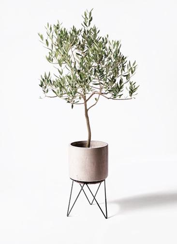 観葉植物 オリーブの木 8号 ハーディーズマンモス ビトロ エンデカ 鉢カバースタンド付 クリーム 付き