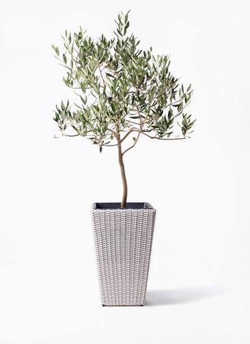 観葉植物 オリーブの木 8号 ハーディーズマンモス ウィッカーポット スクエアロング OT 白 付き