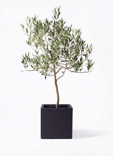 観葉植物 オリーブの木 8号 ハーディーズマンモス ベータ キューブプランター 黒 付き