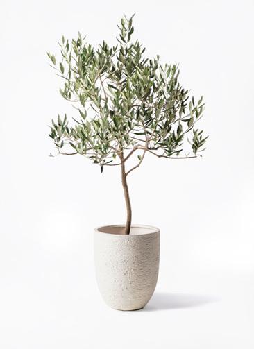 観葉植物 オリーブの木 8号 ハーディーズマンモス ビアスアルトエッグ 白 付き