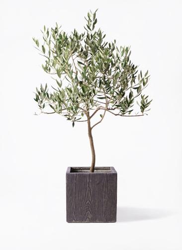 観葉植物 オリーブの木 8号 ハーディーズマンモス ベータ キューブプランター ウッド 茶 付き