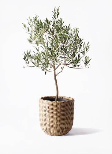 観葉植物 オリーブの木 8号 ハーディーズマンモス ウィッカーポットエッグ ベージュ 付き