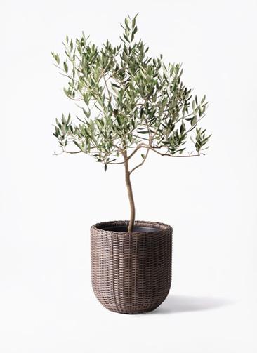 観葉植物 オリーブの木 8号 ハーディーズマンモス ウィッカーポットエッグ 茶 付き