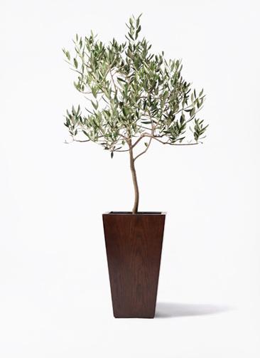 観葉植物 オリーブの木 8号 ハーディーズマンモス MOKU スクエア 付き