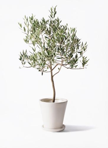 観葉植物 オリーブの木 8号 ハーディーズマンモス サブリナ 白 付き