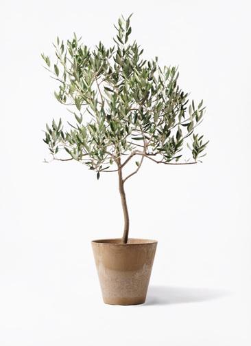 観葉植物 オリーブの木 8号 ハーディーズマンモス アートストーン ラウンド ベージュ 付き