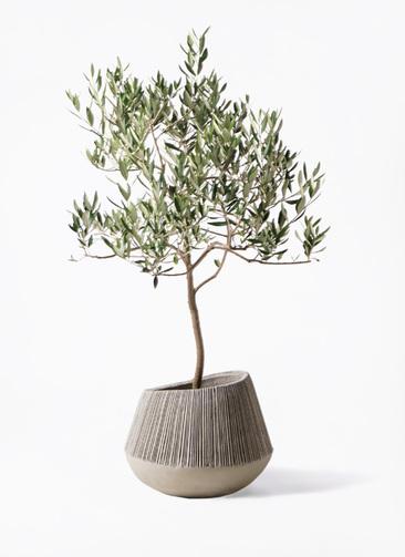観葉植物 オリーブの木 8号 ハーディーズマンモス エディラウンド グレイ 付き