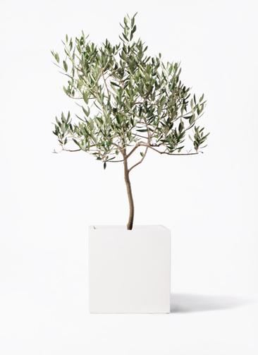 観葉植物 オリーブの木 8号 ハーディーズマンモス バスク キューブ 付き